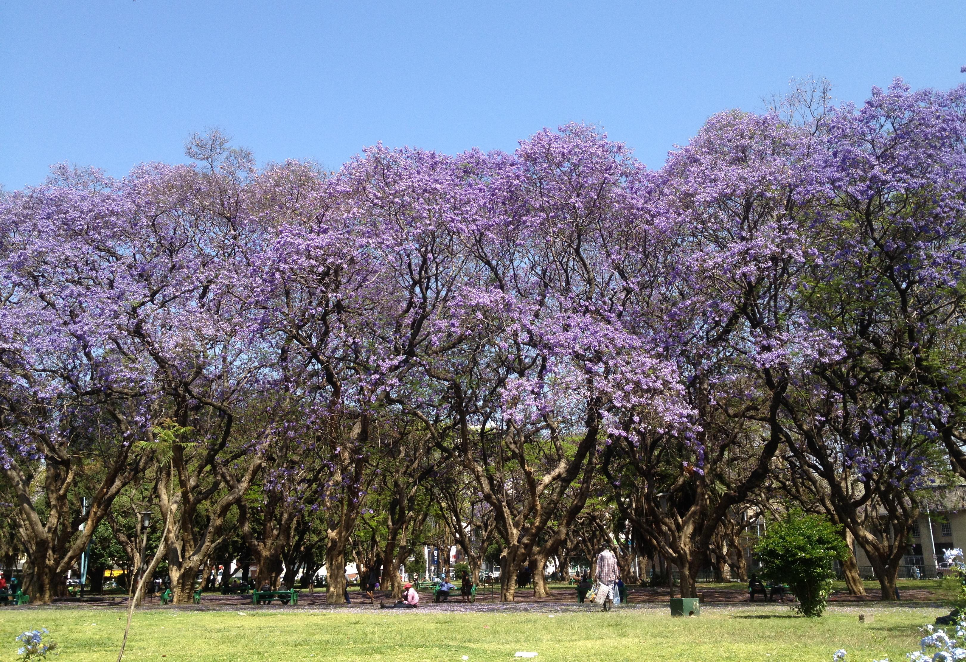Brazil In Zimbabwe: Harare's Jacaranda Trees