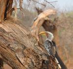 Southern Yellow-billed hornbill.