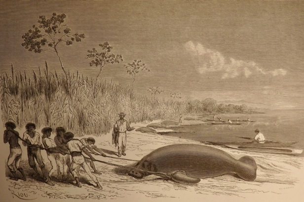 Hauling a manatee ashore.